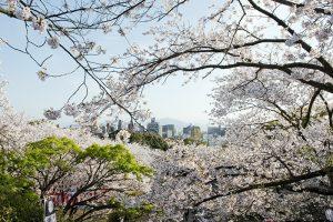 桜の名所西公園の画像