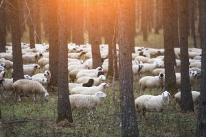 Sheeps on pasture  in forest by selective focus
